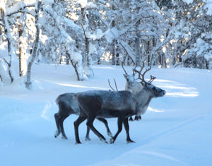 Reindeer near the ski trail in Kiruna